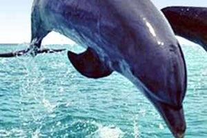 Jaco Dolphins